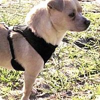 Adopt A Pet :: Cookito—A Real Cuddlebug! - Kirkland, WA
