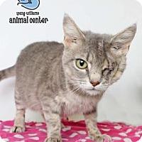 Domestic Shorthair Cat for adoption in Knoxville, Tennessee - Jennifer