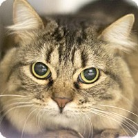 Domestic Mediumhair Cat for adoption in Mountain Home, Arkansas - Juliet