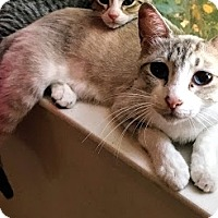 Siamese Cat for adoption in San Jose, California - Farro