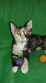 Domestic Shorthair Kitten for adoption in Scottsdale, Arizona - Nellie