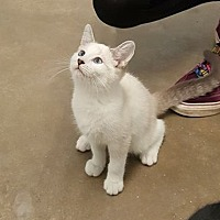 Adopt A Pet :: Aphrodite - Knoxville, IA