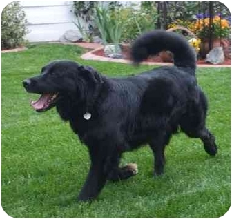 Flat-Coated Retriever/Retriever (Unknown Type) Mix Dog for adoption in Arlington, Tennessee - Jackson-Easy Going!