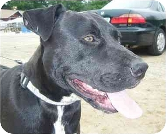 American Pit Bull Terrier/Labrador Retriever Mix Dog for adoption in Raymond, New Hampshire - Stan The Man