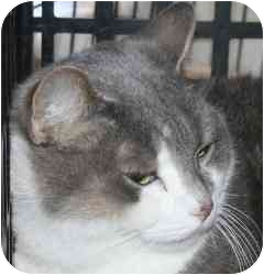 Domestic Shorthair Cat for adoption in Westbrook, Maine - Rose