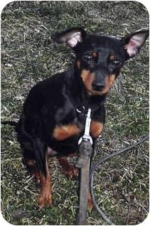 Miniature Pinscher Dog for adoption in Owatonna, Minnesota - Ginger