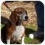 Photo 2 - Beagle Dog for adoption in Ventnor City, New Jersey - FRESCA