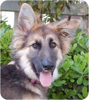 German Shepherd Dog Puppy for adoption in Los Angeles, California - Cricket von Carlsbad