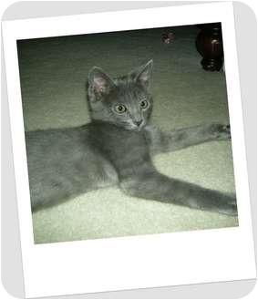 Russian Blue Kitten for adoption in Hurst, Texas - Skeeter-the royal feline!