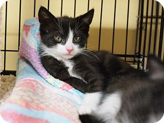 Domestic Shorthair Kitten for adoption in Ocean City, New Jersey - Louie