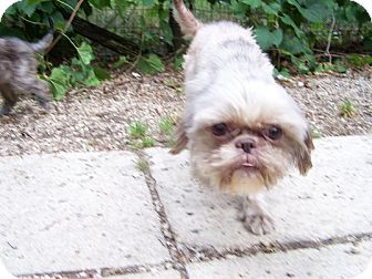 Brussels Griffon/Maltese Mix Dog for adoption in Antioch, Illinois - Hugs ADOPTED!!
