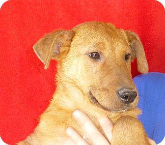 Labrador Retriever/Golden Retriever Mix Puppy for adoption in Oviedo, Florida - Tyler