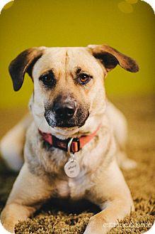 Anatolian Shepherd Mix Dog for adoption in Portland, Oregon - Dori