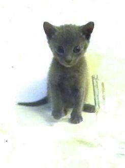 Russian Blue Kitten for adoption in Honolulu, Hawaii - Pili