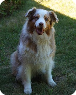 Australian Shepherd Dog for adoption in Minneapolis, Minnesota - Ruby