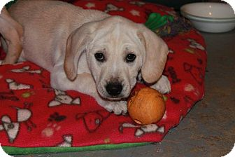 Labrador Retriever Mix Puppy for adoption in Barnegat, New Jersey - Emily
