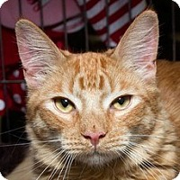 Domestic Shorthair Cat for adoption in Sacramento, California - Hamish M