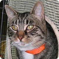 Domestic Mediumhair Cat for adoption in Olean, New York - Cheerio