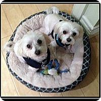 Adopt A Pet :: Brit & Beau - Ft. Bragg, CA