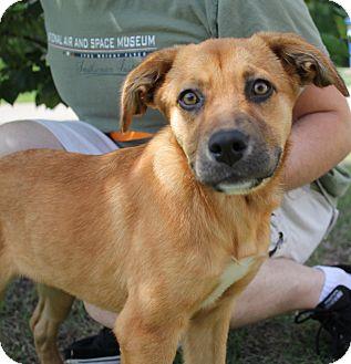 Retriever (Unknown Type)/Shepherd (Unknown Type) Mix Dog for adoption in Stillwater, Oklahoma - Aubrey
