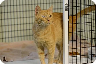 Domestic Shorthair Cat for adoption in Brooksville, Florida - Wes