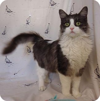 Domestic Longhair Cat for adoption in Larned, Kansas - Florence