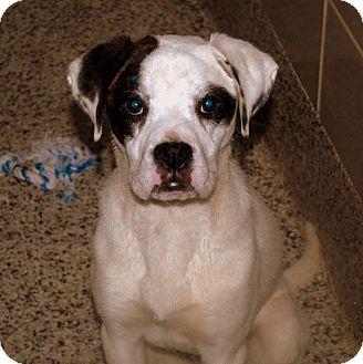 Boxer Mix Dog for adoption in Aiken, South Carolina - Carson