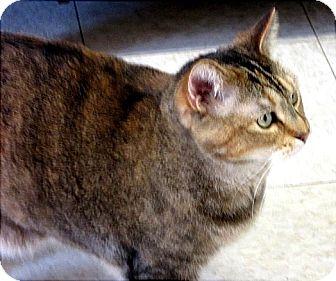 Domestic Shorthair Cat for adoption in Glenwood, Minnesota - KeeKee