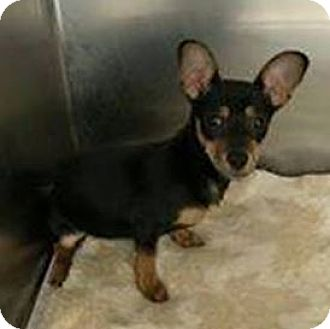 Chihuahua/Dachshund Mix Puppy for adoption in Huntley, Illinois - Sweet Baby Ray