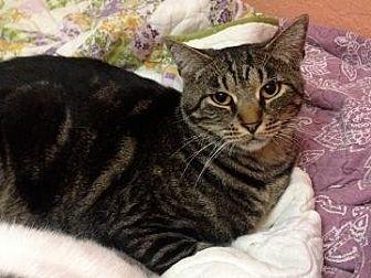 Domestic Shorthair Cat for adoption in San Jose, California - GAP-Curtis Boy