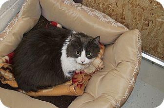 Domestic Longhair Cat for adoption in North Kingstown, Rhode Island - Mya