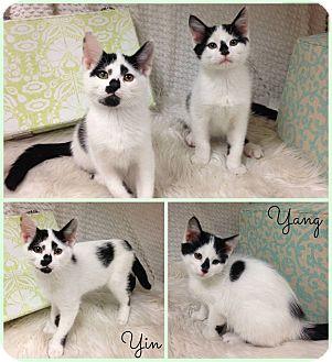 Domestic Shorthair Kitten for adoption in Joliet, Illinois - Yang