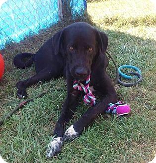 Labrador Retriever Mix Dog for adoption in Zanesville, Ohio - Yaatz - ADOPTED!