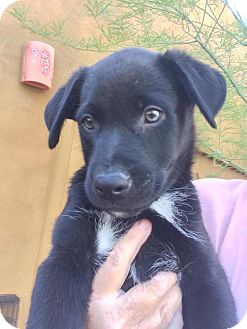 Labrador Retriever/Border Collie Mix Puppy for adoption in Cave Creek, Arizona - Baxter