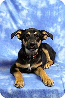 Shepherd (Unknown Type) Mix Dog for adoption in Westminster, Colorado - PAVLOVA