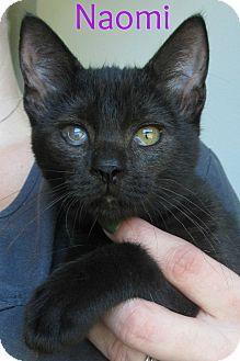 Domestic Shorthair Cat for adoption in Menomonie, Wisconsin - Naomi