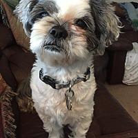 Shih Tzu Mix Dog for adoption in Plano, Texas - Oreo