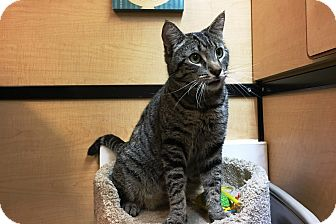 Domestic Shorthair Cat for adoption in Riverside, California - Connor
