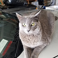 Russian Blue Cat for adoption in Martinez, California - CLEO