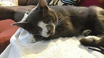 Domestic Shorthair Cat for adoption in Tampa, Florida - Heidi