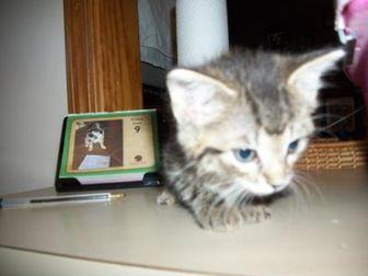 Domestic Shorthair/Domestic Shorthair Mix Cat for adoption in Clinton, Missouri - 35799472