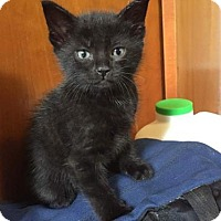 Domestic Shorthair Kitten for adoption in Lockport, New York - Maksim