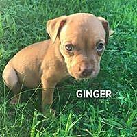 Adopt A Pet :: Ginger - Hartford, CT