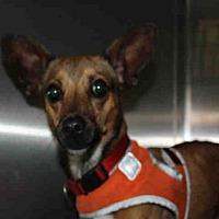 Adopt A Pet :: A1729018 - Los Angeles, CA