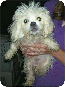 Bichon Frise/Pekingese Mix Puppy for adoption in Wauseon, Ohio - Larry