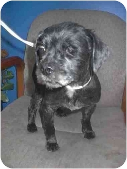 Lhasa Apso/Terrier (Unknown Type, Small) Mix Dog for adoption in Ortonville, Michigan - Helen