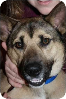 Shiba Inu/German Shepherd Dog Mix Dog for adoption in Howes Cave, New York - Ralphie