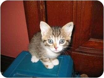 Domestic Shorthair Kitten for adoption in St. Louis, Missouri - Comet