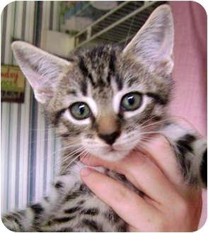 Domestic Shorthair Kitten for adoption in Greensboro, North Carolina - Gentry ***Sponsored***