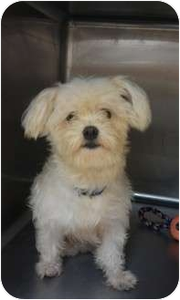 Maltese Dog for adoption in Palm Harbor, Florida - Ollie